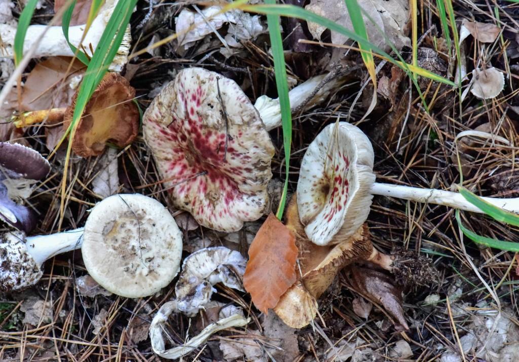 Schimmelpilz auf Pilzen