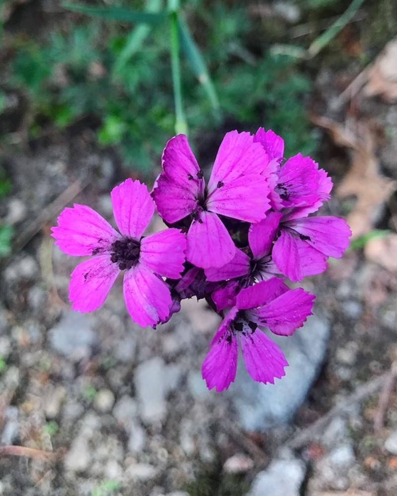 Microbotryum dianthorum